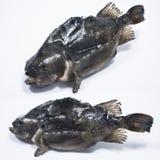Φρέσκο Lumpfish Στοκ Φωτογραφίες