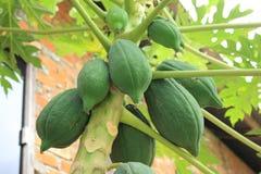 Φρέσκο papaya στο δέντρο με τα πράσινα φρούτα Στοκ φωτογραφία με δικαίωμα ελεύθερης χρήσης