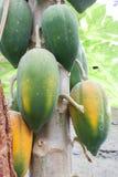 φρέσκο papaya Στοκ Εικόνες