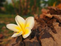 Φρέσκο Plumeria Στοκ φωτογραφία με δικαίωμα ελεύθερης χρήσης