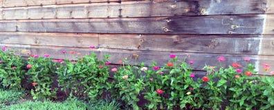 Φρέσκο Zinnias που αναρριχείται σε έναν ηλικίας ξύλινο τοίχο Στοκ Φωτογραφία