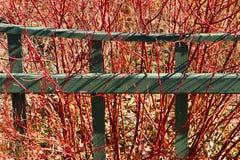 Φραγή και κόκκινος-κλαδίσκος κήπων dogwood Στοκ φωτογραφία με δικαίωμα ελεύθερης χρήσης