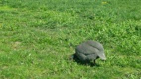 Φραγκόκοτα και κρανοφόρος όμορφος πουλιών meleagris Numida φραγκοκοτών διακοσμητικός στις πεδιάδες, με τη συμπαθητική φύση και απόθεμα βίντεο