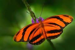 Φραγμένη πορτοκάλι τίγρη, phaetusa Dryadula, πεταλούδα στο βιότοπο φύσης Έντομο της Νίκαιας από το Μεξικό Πεταλούδα στον πράσινο  στοκ εικόνες με δικαίωμα ελεύθερης χρήσης