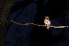 Φραγμένη συνεδρίαση owlet σε έναν κλάδο στο σκοτάδι Στοκ Εικόνα