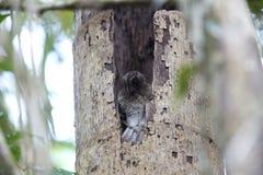 Φραγμένος owlet-nightjar Στοκ φωτογραφία με δικαίωμα ελεύθερης χρήσης