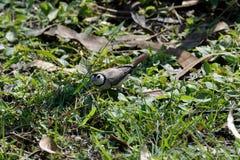 Φραγμένο διπλάσιο Finch που στηρίζεται στοκ φωτογραφία με δικαίωμα ελεύθερης χρήσης