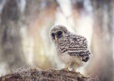 Φραγμένο Owlet σε έναν κλάδο Στοκ εικόνα με δικαίωμα ελεύθερης χρήσης