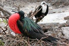 φρεγάτες galapagos Στοκ εικόνες με δικαίωμα ελεύθερης χρήσης