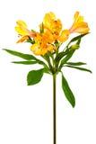 φρεσκάδα alstroemeria στοκ εικόνες με δικαίωμα ελεύθερης χρήσης