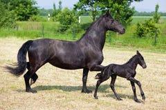 Φρισλανδικές foal και μητέρα στον τομέα Στοκ φωτογραφία με δικαίωμα ελεύθερης χρήσης