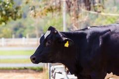 Φρισλανδική αγελάδα του Χολστάιν. Στοκ εικόνα με δικαίωμα ελεύθερης χρήσης