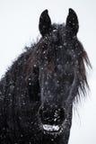 Φρισλανδικό άλογο και χιονοπτώσεις Στοκ Εικόνες