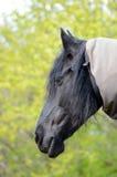 Φρισλανδικό πορτρέτο φοράδων αλόγων Στοκ Εικόνα