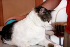 Φροντίδα για τη γούνα γατών Χέρι που κτενίζει από τη γάτα χτενών Τρίχα βουρτσίσματος ατόμων και χτένα γουνών βουρτσών της γάτας σ στοκ φωτογραφίες με δικαίωμα ελεύθερης χρήσης