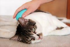Φροντίδα για τη γούνα γατών Χέρι που κτενίζει από τη γάτα χτενών Τρίχα βουρτσίσματος ατόμων και χτένα γουνών βουρτσών της γάτας σ στοκ φωτογραφία
