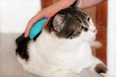 Φροντίδα για τη γούνα γατών Χέρι που κτενίζει από τη γάτα χτενών Τρίχα βουρτσίσματος ατόμων και χτένα γουνών βουρτσών της γάτας σ στοκ εικόνα