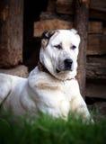 Φρουρά σκυλιών Alabai Στοκ Εικόνα