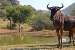 φρουρά wildebeast στοκ εικόνες