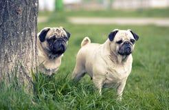 Φρουρές σκυλιών Mop Στοκ φωτογραφίες με δικαίωμα ελεύθερης χρήσης