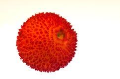 Φρούτα δέντρων φραουλών - unedo Arbutus Στοκ Φωτογραφίες