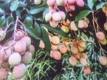 Φρούτα λίτσι Στοκ Φωτογραφίες