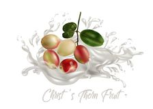 Φρούτα αγκαθιών Χριστού ` s Στοκ φωτογραφία με δικαίωμα ελεύθερης χρήσης