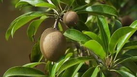 Φρούτα ακτινίδιων στο δέντρο Στοκ Φωτογραφία