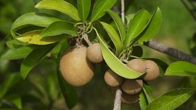 Φρούτα ακτινίδιων στο δέντρο Στοκ Εικόνα