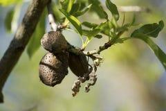 Φρούτα αμυγδάλων Στοκ Φωτογραφία
