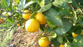 Φρούτα ασβέστη ιδρώτα Στοκ Εικόνες