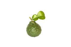 Φρούτα ασβέστη Kaffir Στοκ φωτογραφία με δικαίωμα ελεύθερης χρήσης