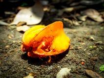 Φρούτα αστεριών αποσύνθεσης στον κορμό στοκ φωτογραφίες