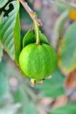 Φρούτα γκοϋαβών στο δέντρο Στοκ Εικόνες