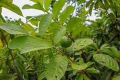 Φρούτα γκοϋαβών στο πράσινο φύλλο γκοϋαβών στοκ εικόνες με δικαίωμα ελεύθερης χρήσης