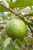 Φρούτα γκοϋαβών Στοκ Εικόνα
