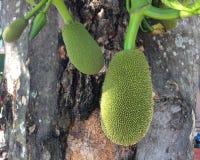 φρούτα γρύλων στον κλάδο Στοκ Εικόνες