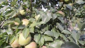 Φρούτα δέντρων αχλαδιών απόθεμα βίντεο