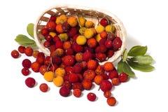 Φρούτα δέντρων φραουλών (Arbutus Unedo) Στοκ φωτογραφία με δικαίωμα ελεύθερης χρήσης