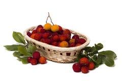 Φρούτα δέντρων φραουλών (Arbutus Unedo) Στοκ Φωτογραφία
