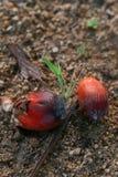 Φρούτα ελαιοφοινίκων Στοκ φωτογραφία με δικαίωμα ελεύθερης χρήσης