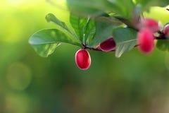 Φρούτα θαύματος Στοκ Φωτογραφία