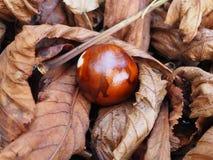 Φρούτα κάστανων που τοποθετούνται στα ξηρά φύλλα, φύλλωμα φθινοπώρου στοκ φωτογραφίες