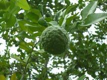 Φρούτα κίτρων στο δέντρο Στοκ εικόνα με δικαίωμα ελεύθερης χρήσης