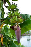 Φρούτα και επάνθιση της μπανάνας Στοκ φωτογραφίες με δικαίωμα ελεύθερης χρήσης