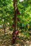 Φρούτα κακάου στο δέντρο στη Μαδαγασκάρη Στοκ Εικόνες