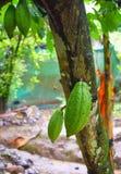 Φρούτα κακάου στο δέντρο κακάου - κακάο Theobroma Στοκ εικόνα με δικαίωμα ελεύθερης χρήσης