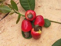 φρούτα καρυδιών των δυτικών ανακαρδίων Στοκ φωτογραφία με δικαίωμα ελεύθερης χρήσης