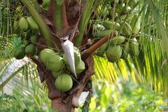 Φρούτα καρύδων στο δέντρο καρύδων στον κήπο Ταϊλάνδη Στοκ εικόνες με δικαίωμα ελεύθερης χρήσης