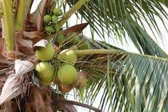 Φρούτα καρύδων στο δέντρο καρύδων στον κήπο Ταϊλάνδη Στοκ Εικόνα